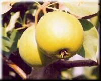Осенняя груша
